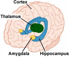 amygdala
